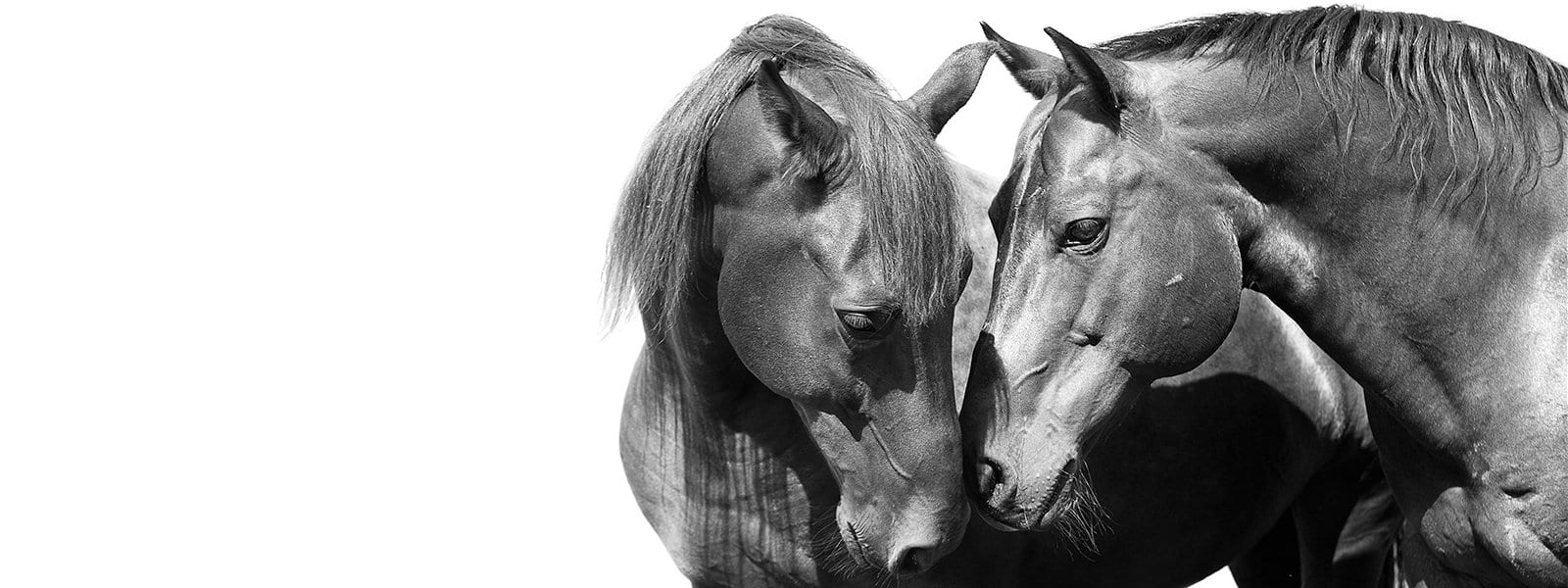 A black-and-white photo shows two horses touching noses.