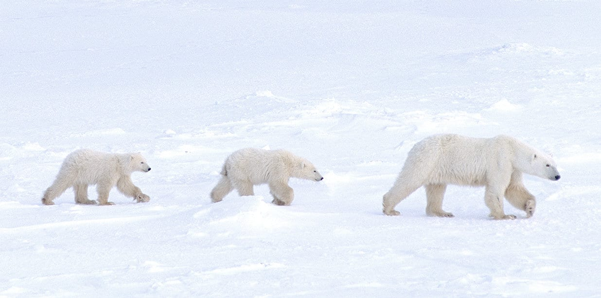 A family of four polar bears walking in a line in the arctic tundra.