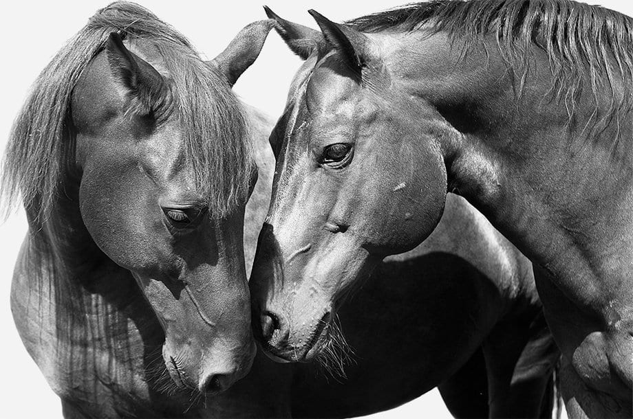 A black-and-white photo of two horses touching noses.