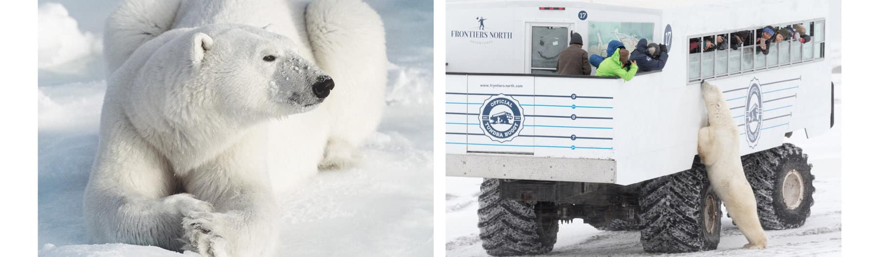 Two color photos are placed side by side. Left: A close-up photo of a polar bear lying down on snow. Right: A polar bear stands up to lean against a large truck filled with people looking out the vehicle's windows. The truck is in a snowy landscape.