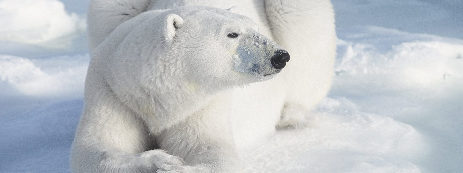 A close-up color photo of a polar bear lying in the snow.
